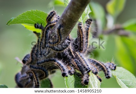 An infestation of tent caterpillars devouring apple tree leaves in early spring. Fuzzy caterpillars with orange stripe eating leaves #1458905210
