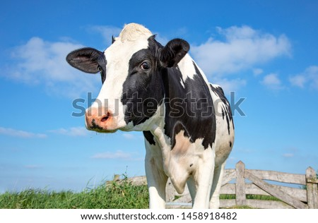 Mature, adult black and white cow, gentle look, pink nose, in front of an old wooden fence and a blue sky. #1458918482