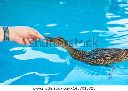 Female mallard duck being hand-fed bread in blue water #1459015925
