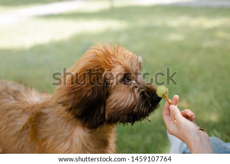 A red puppy briard playing in the park #1459107764