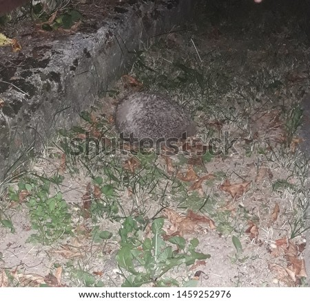 Hedgehog on a grass. Hedgehog in the garden. Animals around the house. Small animal. Scared animal. Wild animal.  #1459252976