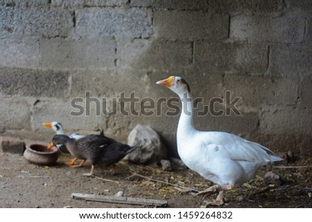 A picture of a white goose with blue eyes.With a brown and a white duckling drinking water