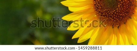 Sunflower natural background. Sunflower blooming. Close-up of sunflower. Agriculture field. Wide banner. #1459288811
