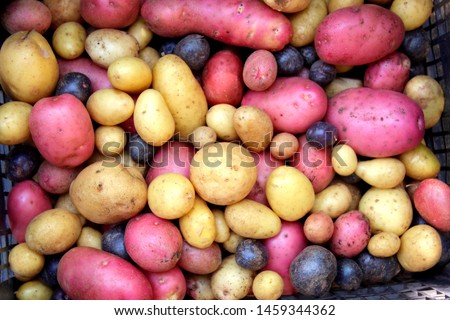 Multi-colored potatoes, purple potatoes, pink potatoes, potato harvest, close up, original vegetables, selective focus. #1459344362