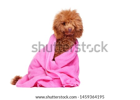 Full length picture of a poodle in pink towel