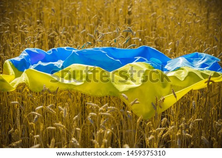 flag of Ukraine is blue-yellow lying on ripe wheat. Yellow wheat field in Ukraine. Independence Day of Ukraine, flag day. #1459375310