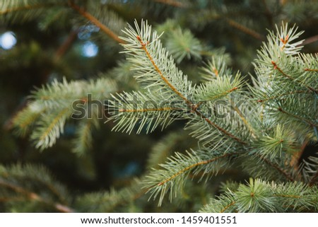 Pine leaves on the branch #1459401551