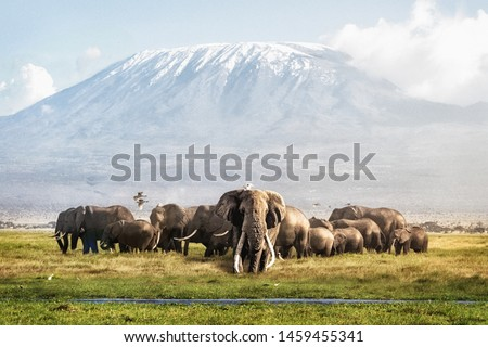 Famous big tusker bull elephant Tim with family herd in front of Mt. Kilimanjaro in Amboseli, Kenya Africa Royalty-Free Stock Photo #1459455341
