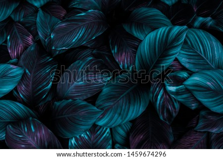 The leaves of Spathiphyllum cannifolium, abstract dark green surface, natural background, tropical leaves
