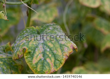Diseases of cucumbers. Cucumber leaves affected by the disease. Selective focus. #1459740146