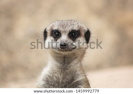Portrait of a cute meerkat or suricate (Suricata suricatta)