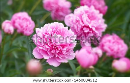 Pink flower peony flowering in peonies garden.    #1460004512