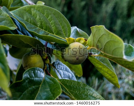 persimmons ripening on the branch with green leaves #1460016275