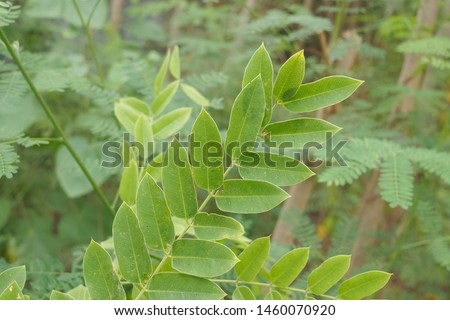 Close-up Green Leaves on branch of Pink Brazilian Cassia (Cassia grandis) with green nature blurred background, other names include Horse Cassia, Pink Shower Tree and Stinking Toe. #1460070920