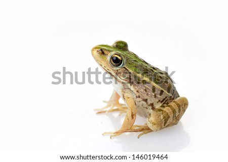 Frog isolated on a white background, and close-up pictures   #146019464