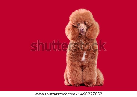 Full length picture of a brown poodle sitting against red background