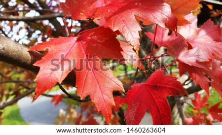 Japanese Red Maple Leaves and Tree Fall Autumn landscaping  #1460263604