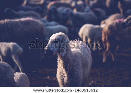 Sacrificial sheep herd is patrolling in nature and grazing. Sacrifice Eid concept (in TR: Kurban Bayrami). Sacrificial sheep (in TR: Kurbanlik koyun). Eid al adha concept. Religion and sacrifice feast #1460615612