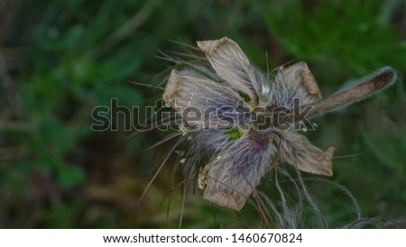 Hairy meadow plant  in summer #1460670824