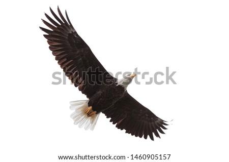 Wings spread wide open, a bald eagle drifts across a white background