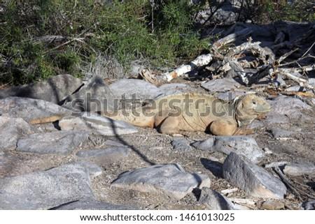 A big iguana in Galapagos, Ecuador #1461013025