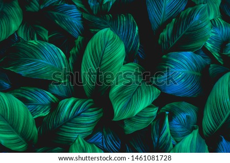 leaves of Spathiphyllum cannifolium, abstract green texture, nature background, tropical leaf #1461081728