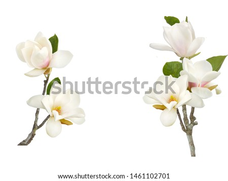 Beautiful blooming white magnolia flower isolated on white background.