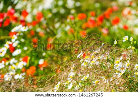beautiful flowering meadow with poppies and daisies on a bright sunny summer day #1461267245