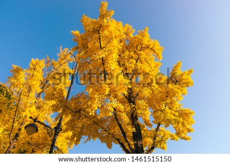 Ginkgo trees on blue sky. Yellow ginkgo leaves of autumn season.  #1461515150