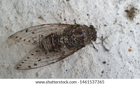 Large brown cicada insect picture