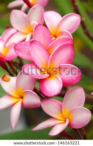 Fragrant frangipani flowers for relaxation. #146163221