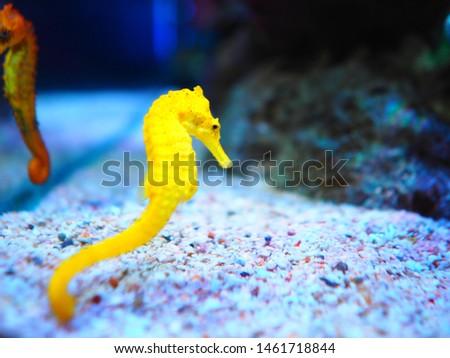 Yellow sea horse in aquarium Thailand