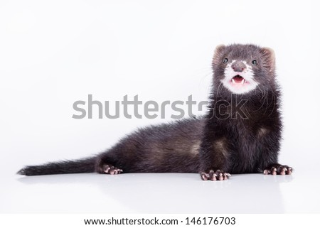 small animal rodent ferret on a white background #146176703