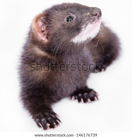 small animal rodent ferret on a white background #146176739