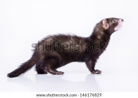 small animal rodent ferret on a white background #146176829