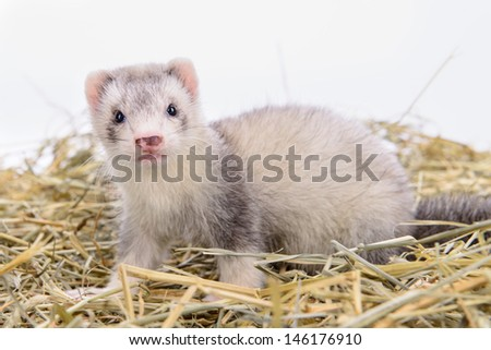 small animal rodent ferret sits on dry hay #146176910