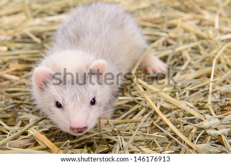 small animal rodent ferret sits on dry hay #146176913