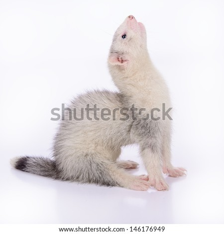 small animal rodent ferret on a white background #146176949