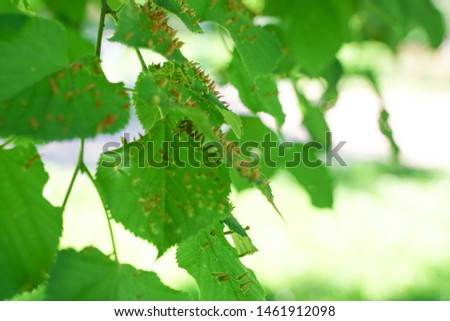 tree leaves affected by aphids. Insect pests and tree deseases. Organic food and agriculture. #1461912098