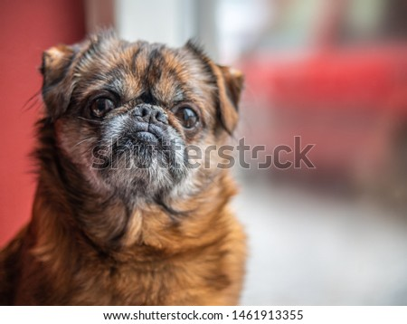 Old grumpy and lonely brown pud or bulldog sitting in front of the window waiting his owner from the work #1461913355