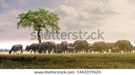 Flock buffalo  on the natural floor.Smart shape of Black Buffalo.Nature Conservation Concept.Black buffalo. safari animal. #1462019624