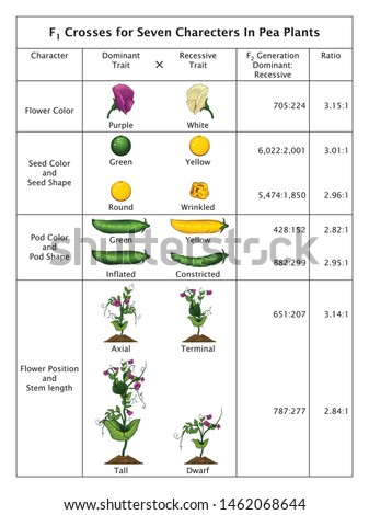 Mendel Genetic Concept Crossing  Seven Characters In Pea Plant Table With All Labels Mendel's Laws Mendel's Experiments Education Vector Illustration Diagram Royalty-Free Stock Photo #1462068644