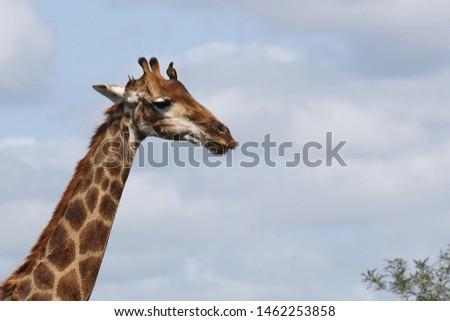 Giraffe / Giraffe / Giraffa Camelopardalis #1462253858