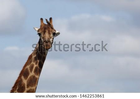 Giraffe / Giraffe / Giraffa Camelopardalis #1462253861