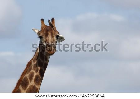 Giraffe / Giraffe / Giraffa Camelopardalis #1462253864