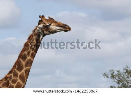 Giraffe / Giraffe / Giraffa Camelopardalis #1462253867
