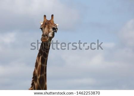 Giraffe / Giraffe / Giraffa Camelopardalis #1462253870