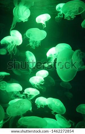 jellyfish moon bioluminescence bio fluorescent under blue lights, Moon Jellyfish variety swims underwater aquarium background stock, photo, photograph, picture, image