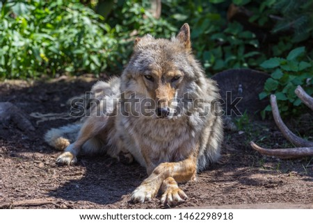 Gray wolf (timber wolf) lying on the grass. Eurasian animals. #1462298918