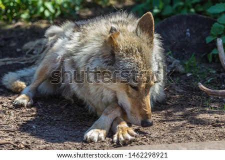 Gray wolf (timber wolf) lying on the grass. Eurasian animals. #1462298921